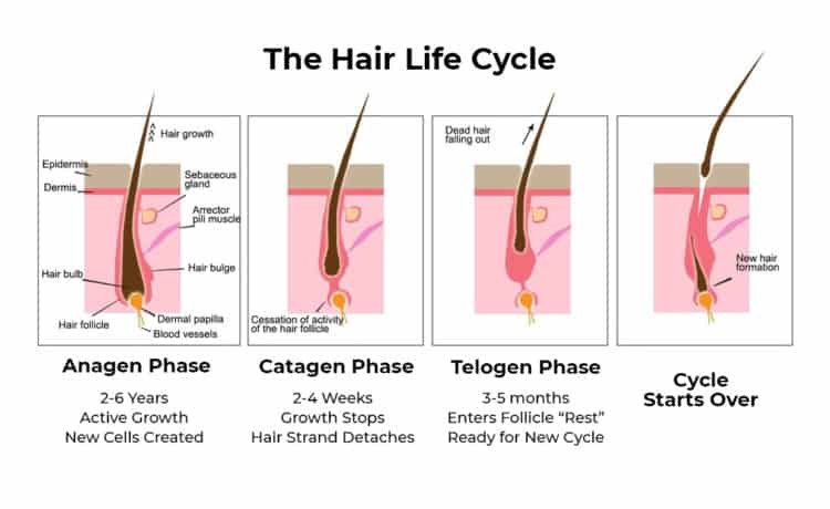 Hair life cycle diagram can illustrate why your beard stopped growing.